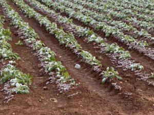 Ζημιές από τον παγετό στις καλλιέργειες στην Π.Ε. Μεσσηνίας